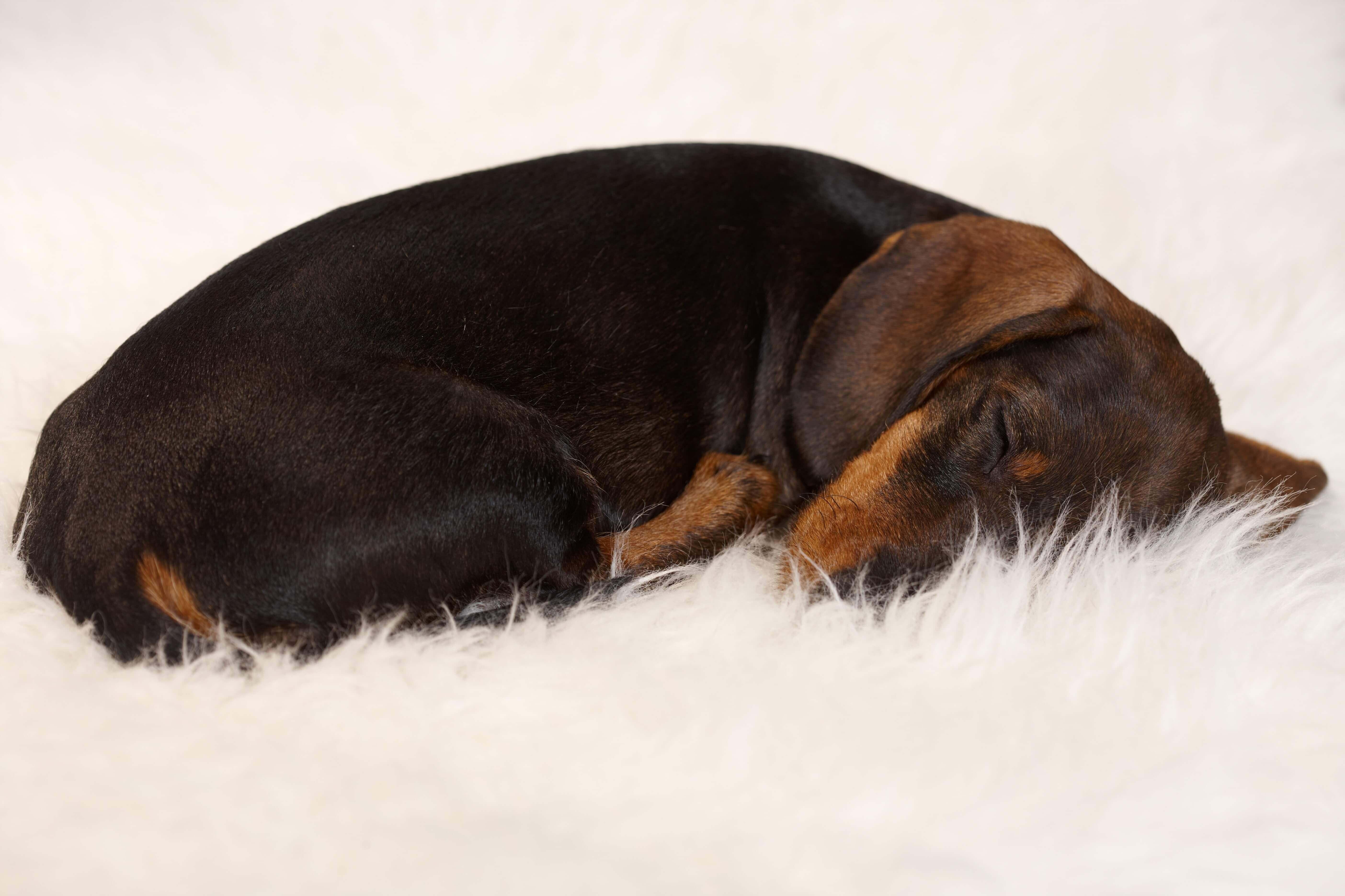 Sausage dog snuggles on rug, used in blog 4 reasons taking breaks make your brain work