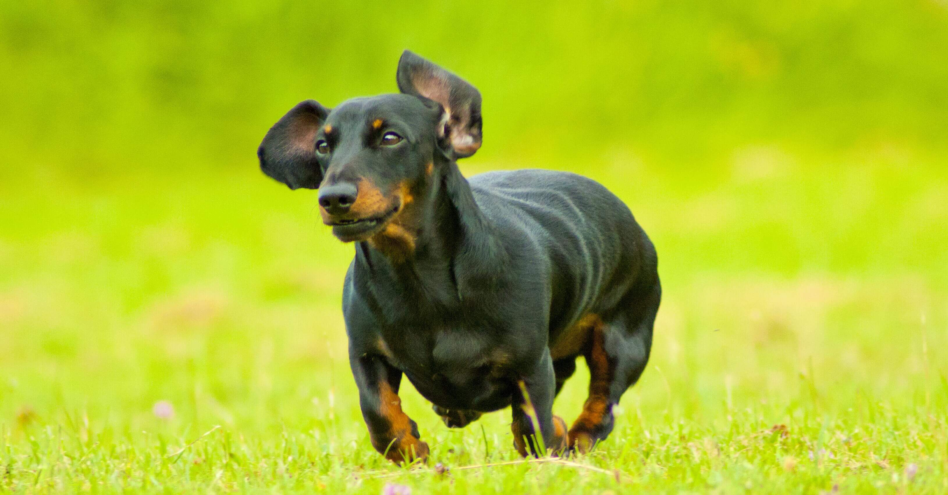 A sausage dog runs in a park, used in blog 4 reasons taking breaks make your brain work